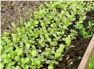 Une planche de mesclun 3 semaines après le semis